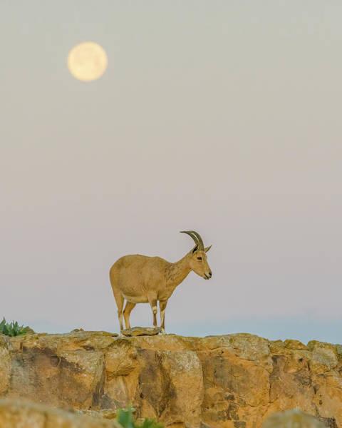 Wall Art - Photograph - Ibex Kid Under A Setting Moon by Morris Finkelstein