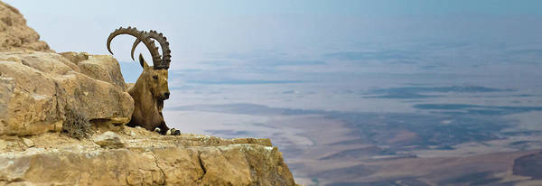 Wall Art - Photograph - Ibex On A Cliff by Ilan Shacham