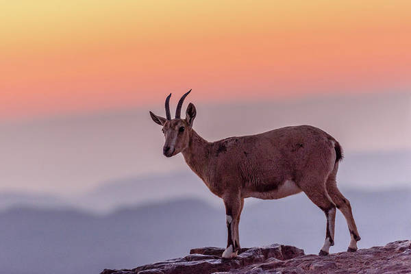 Wall Art - Photograph - Ibex On Crater Edge by Morris Finkelstein