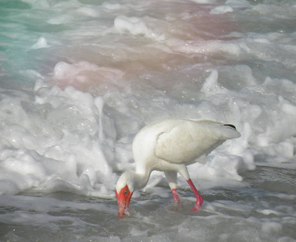 Photograph - Ibis And A Tinted Sea by Rosalie Scanlon