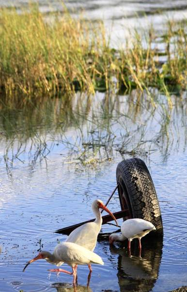 Photograph - Ibis Birds Wading For Food by Philip Bracco
