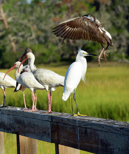 Photograph - Ibis Braking For A Landing by Bruce Gourley