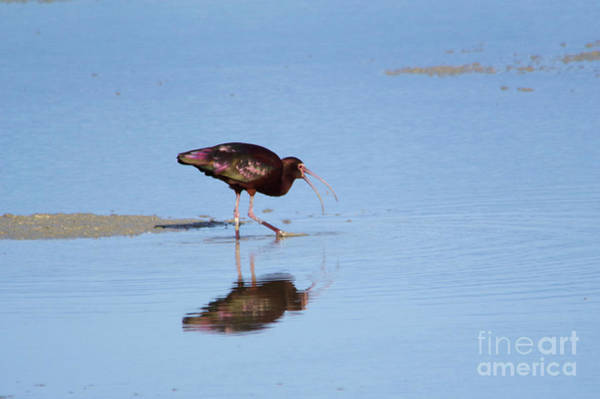 Wall Art - Photograph - Ibis Getting A Mouthful  by Jeff Swan