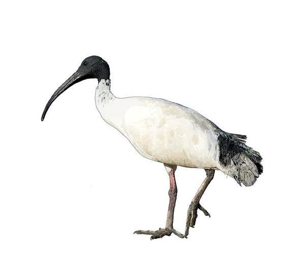 Drawing - Ibis  by Joan Stratton