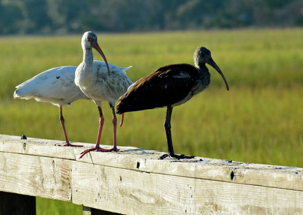 Photograph - Ibis My Friends On Jekyll Island by Bruce Gourley