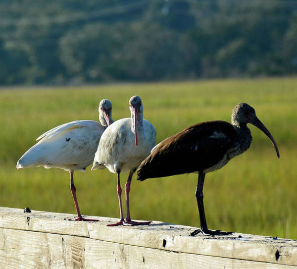 Photograph - Ibises On The Lookout In Jekyll Island State Park by Bruce Gourley
