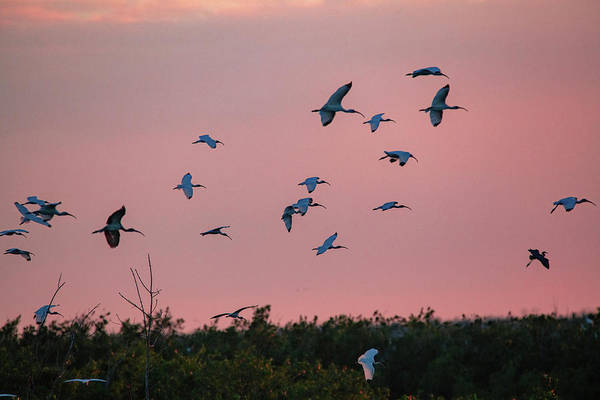 Photograph - Ibsis Birds Flying In To Roost End Of Day by Dan Friend