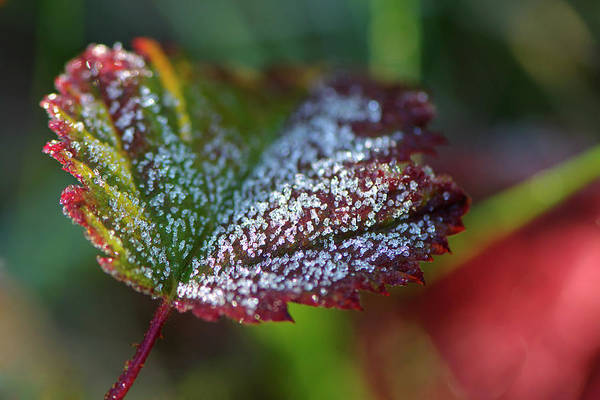 Photograph - Ice Crystals On Leaf by Sharon Talson