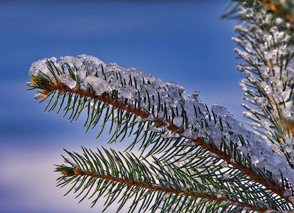 Photograph - Ice On Pine Tree IIi by Steven Ralser