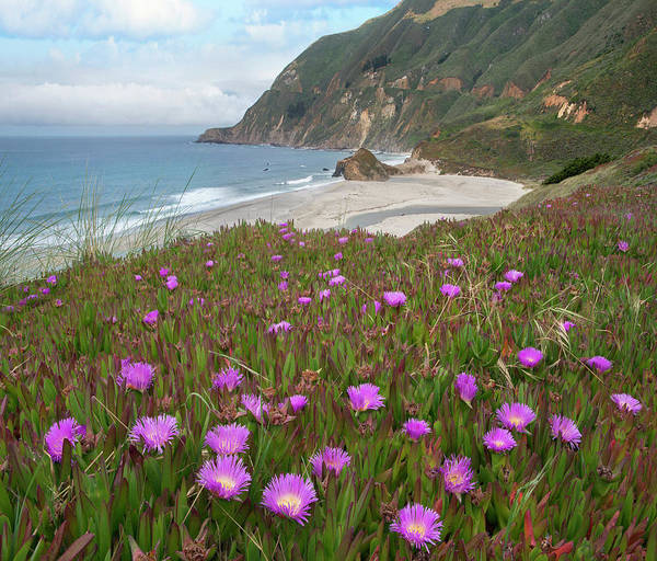 Photograph - Ice Plant Flowers Along Coast, Russian by