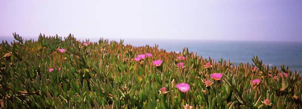Wall Art - Photograph - Ice Plants Carpobrotus Edulis by Panoramic Images