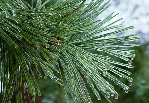 Photograph - Iced Pine by Cate Franklyn