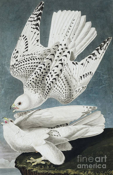 Painting - Iceland Falcon Or Jer Falcon By Audubon by John James Audubon
