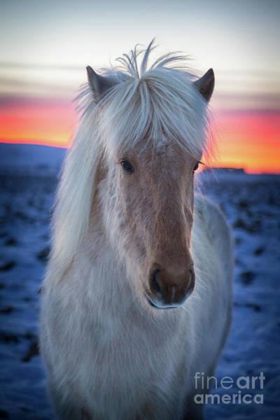 Wall Art - Photograph - Icelandic Horse by Christa Watson