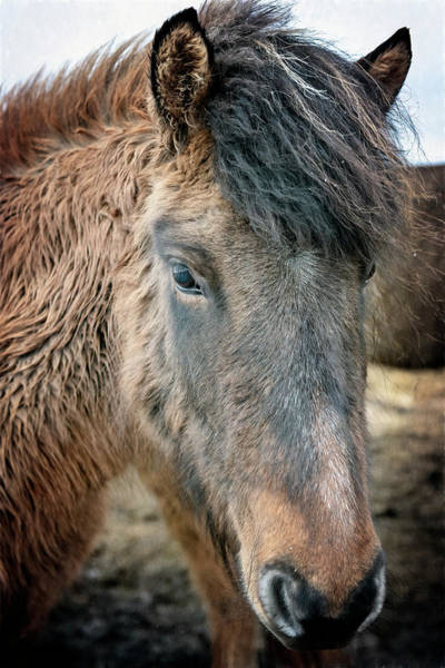 Photograph - Icelandic Horse by Joan Carroll