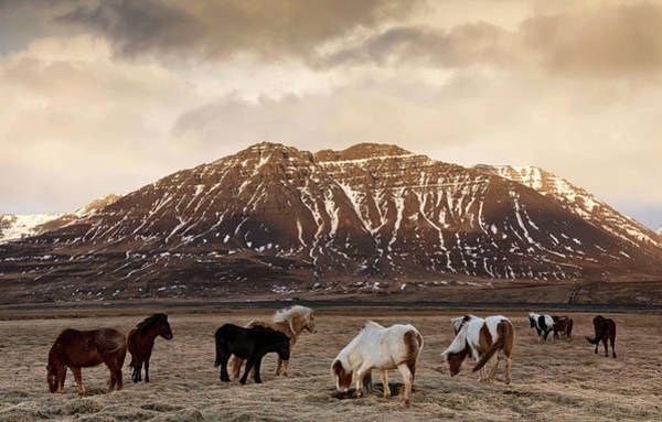 Photograph - Icelandic Horses In Dramatic Landscape by Daniel Bosma