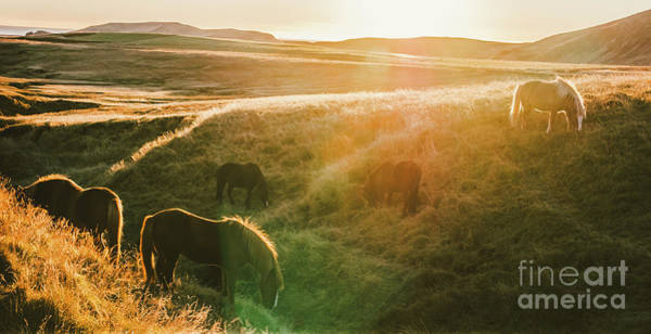 Icelandic Landscapes, Sunset In A Meadow With Horses Grazing  Ba Art Print