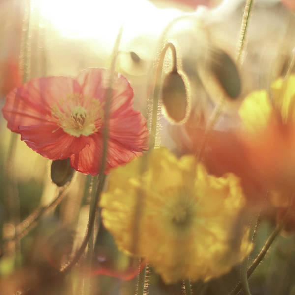 California Poppy Photograph - Icelandic Poppies by Liz Rusby