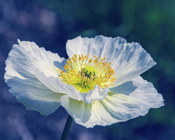 Photograph - Icelandic Poppy In White by Julie Palencia