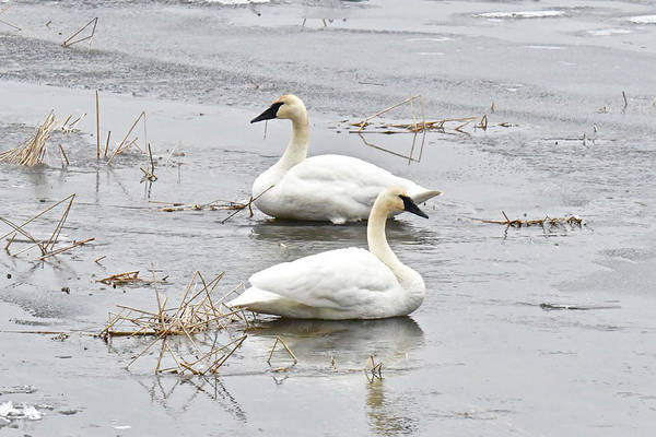 Wall Art - Photograph - Icy Trumpter Swans 1941 by Michael Peychich