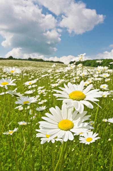 Daisy Photograph - Idyllic Daisy Meadows Summer Skies by Fotovoyager