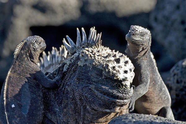 Wall Art - Photograph - Iguana Family by David Hosking