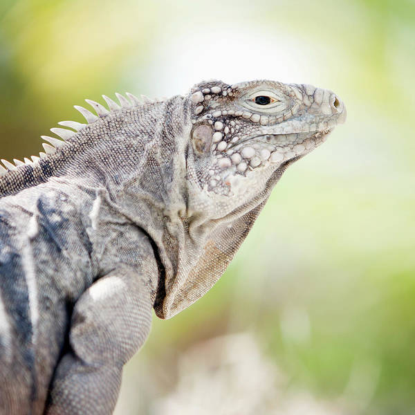 Little People Photograph - Iguana In The Caribbean by Noel Hendrickson