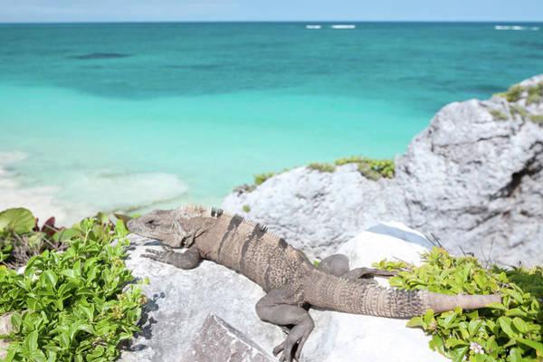 Yucatan Wall Art - Photograph - Iguana On Rock by M Swiet Productions
