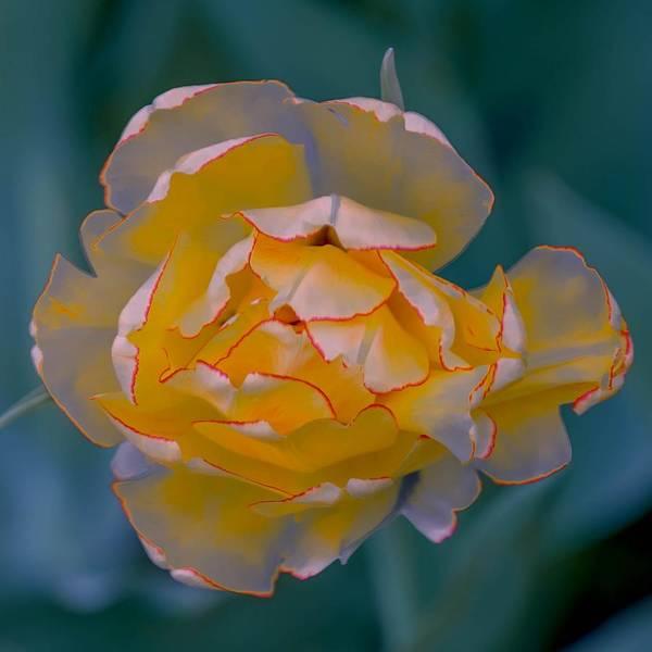 Photograph - Illuminated Tulip by Susan Rydberg