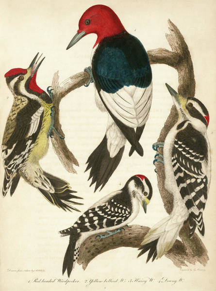 1. Red-headed Woodpecker. 2. Yellow-bellied Woodpecker. 3. Hairy Woodpecker. 4. Downy Woodpecker. Art Print