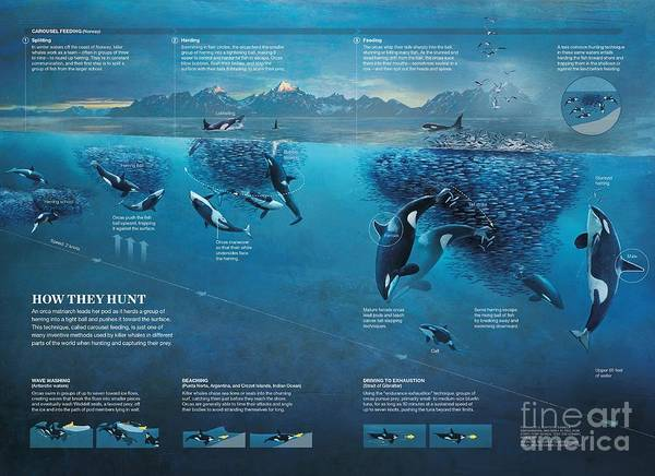 Photograph - Illustration Depicting How Orcas Hunt Using Carousel Feeding, Wave Washing, Beaching And Driving To  by Fernando G Baptista