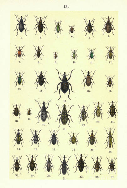 Wall Art - Drawing - Illustration For The Young Beetle Collectors Handbook by German School