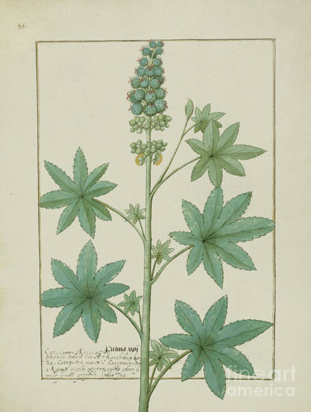 Weeds Drawing - Illustration From The Book Of Simple Medicines By Mattheaus Platearius  by Robinet Testard