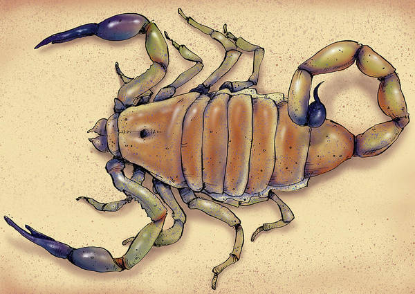 Wall Art - Photograph - Illustration Of Deathstalker Scorpion by Ikon Images