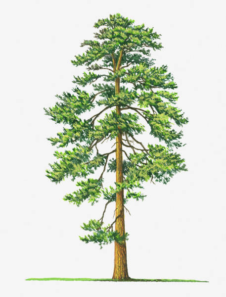 Cut-out Digital Art - Illustration Of Evergreen Pinus by Sue Oldfield
