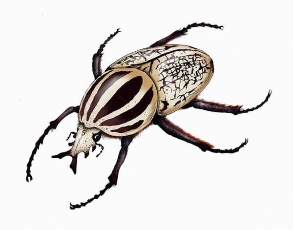 Wall Art - Photograph - Illustration Of Goliath Beetle by Ikon Images