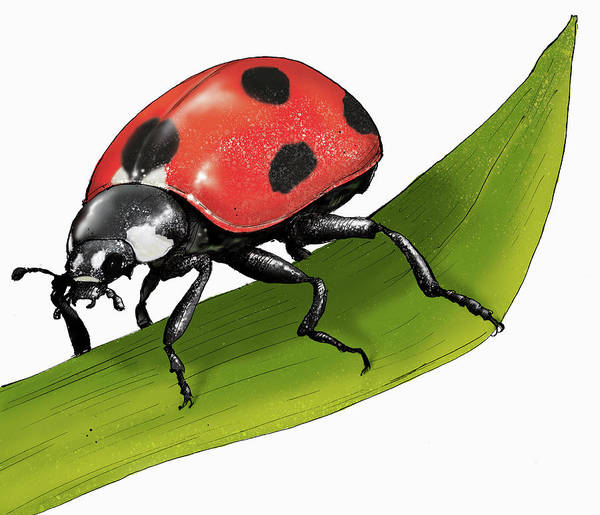 Wall Art - Photograph - Illustration Of Ladybird by Ikon Images