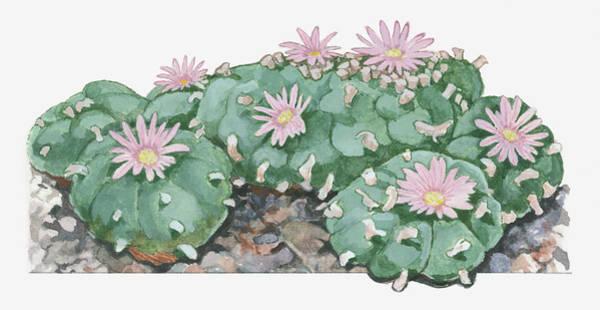 Cut-out Digital Art - Illustration Of Lophophora Williamsii by Dorling Kindersley