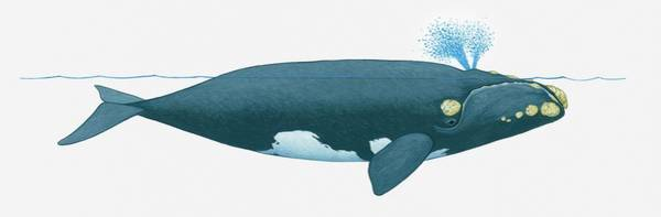 Wall Art - Digital Art - Illustration Of North Pacific Right by Dorling Kindersley