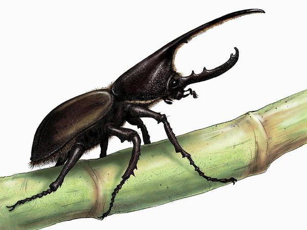 Wall Art - Photograph - Illustration Of Rhinoceros Beetle by Ikon Images
