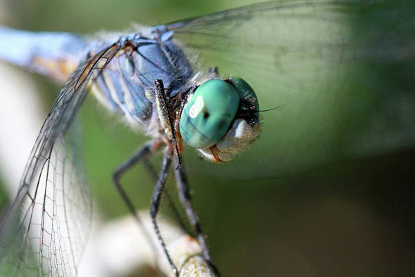 Blue Dragonfly Photograph - Im So Blue by Donna Kennedy