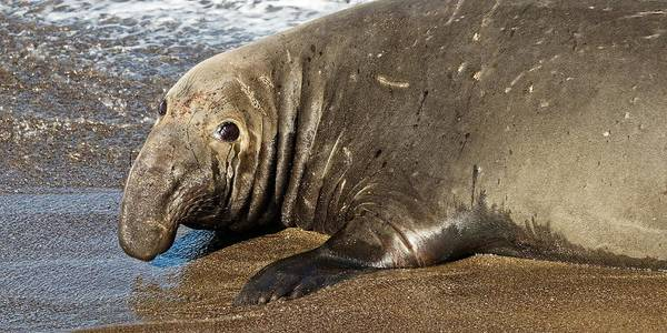 Photograph - I'm So Lonely - Elephant Seal by KJ Swan