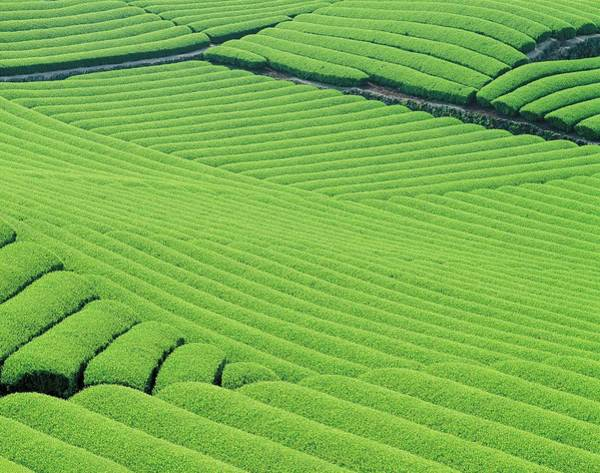 Wall Art - Photograph - Image Of A Tea Plantation, Spreading by Daj