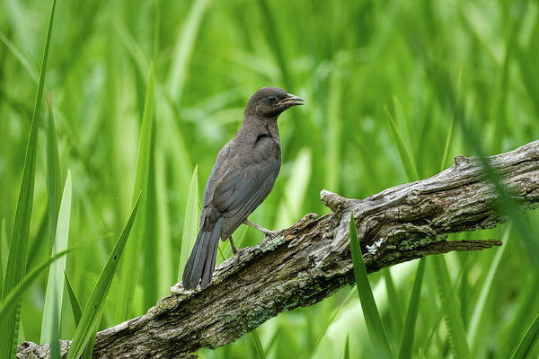 Photograph - Immature Common Grackle by Todd Henson