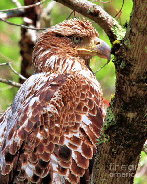 Photograph - Immature Eagle by Debbie Stahre