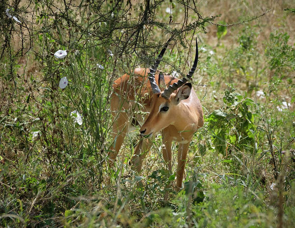 Photograph - Impala Amongst Morning Glories by Mary Lee Dereske