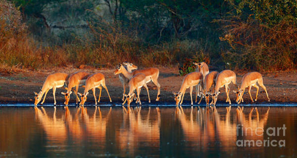 Wall Art - Photograph - Impala Herd Aepyceros Melampus Drinking by Johan Swanepoel
