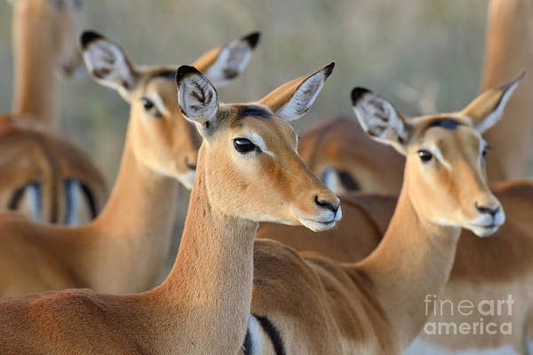 Alert Wall Art - Photograph - Impala On Savanna In National Park Of by Volodymyr Burdiak