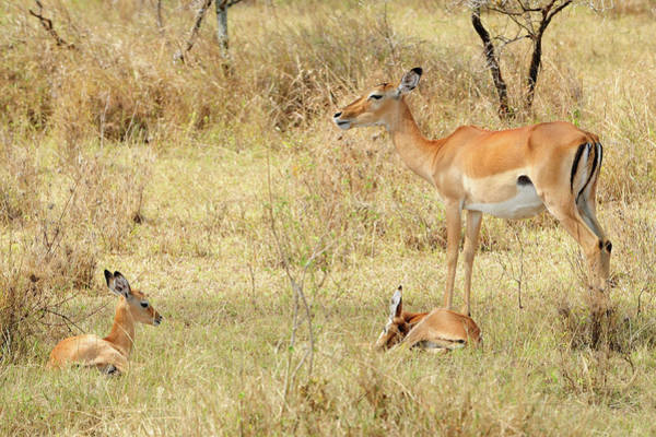 Fawn Photograph - Impala With Young by Tom Schwabel