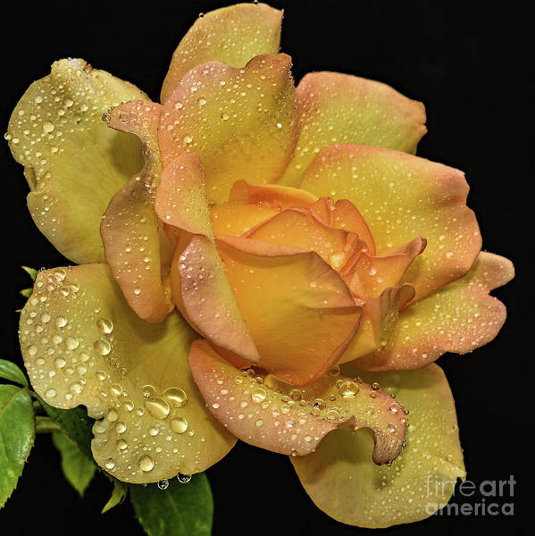 Wall Art - Photograph - Impeccable Gold Struck Rose by Cindy Treger